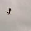 Probably a Northern Harrier, Anahuac NWR