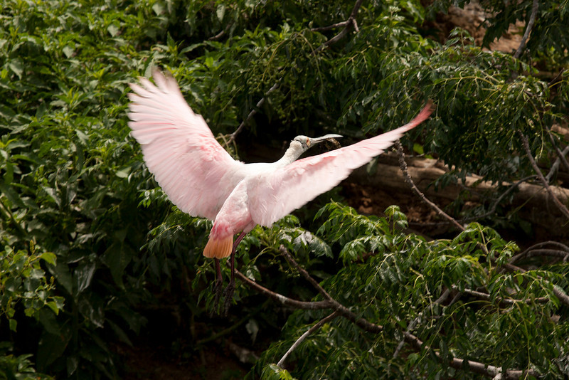 Young Roseate Spoonbill.  You can tell because it does not have the bright red on the wings.