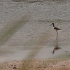 Black Necked Stilt at Anahuac NWR