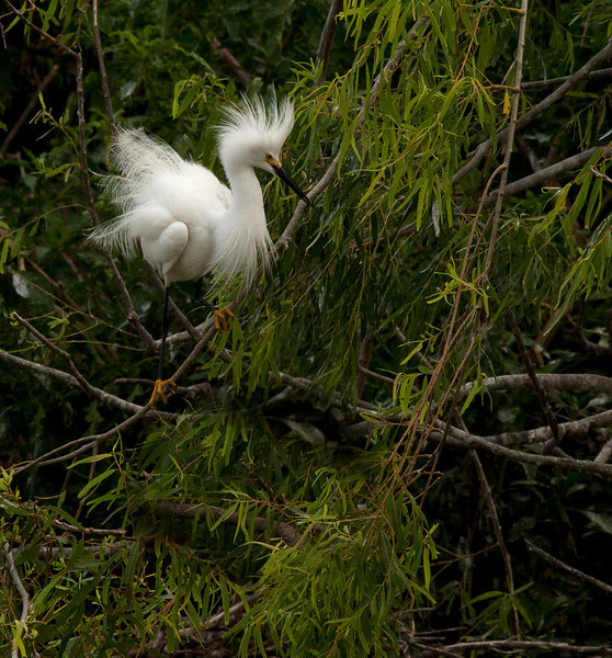 "Flustered Snowy Egret. ""This Texas humidity is terrible for my hair!"""