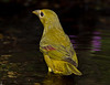 1st year Summer Tanager in transition to red. The red feathers on the left wing were absent on the opposite wing.