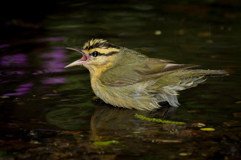 Worm-eating Warbler fending off a bath challenger.