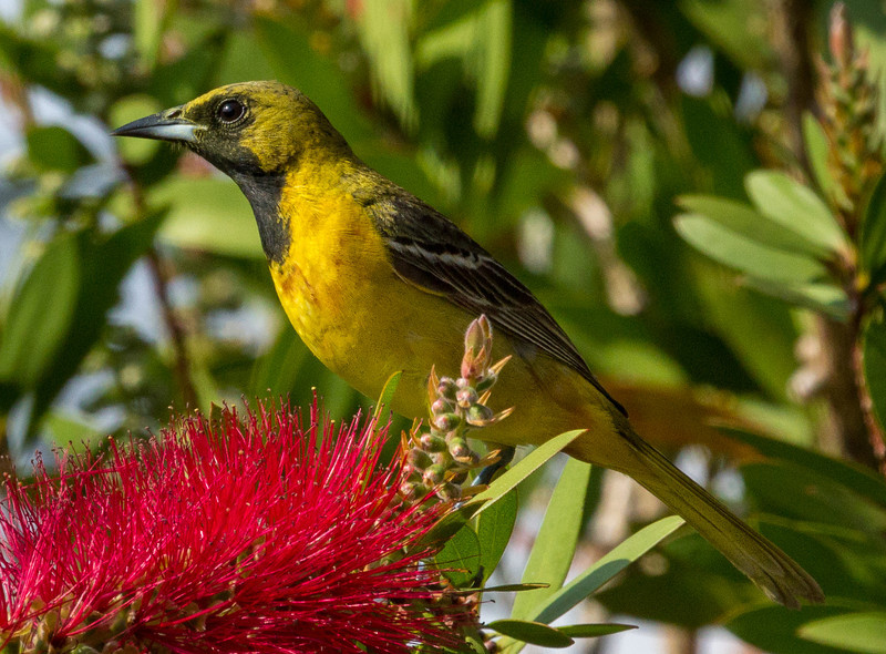 First year male Orchard Oriole, distinguished by the black throat.