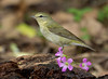 Tennessee Warbler.