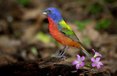 Painted Bunting at drip.