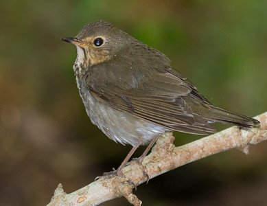 Best consensus is a Swainson's Thrush.