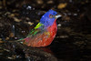 Wet Painted Bunting showing a nice variety of colors and shades.