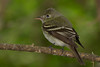 Flycatcher, not sure what type.