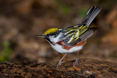 Chestnut-sided Warbler shot at wide open aperture (f5.6) at 1/180 second. A fellow photographer's powerful flash went off at the same instant, which greatly overexposed this photo. I was able to save the RAW image by radically dialing back the exposure.