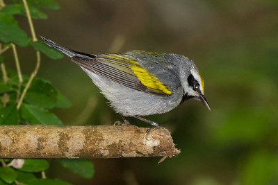 Golden-winged Warbler.