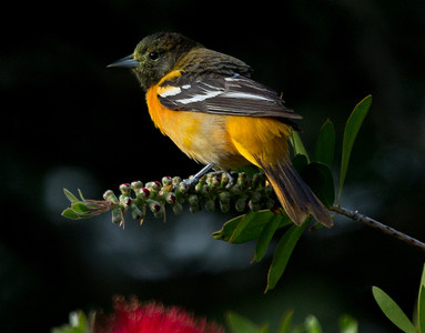 Baltimore Oriole in Bottlebrush. Shade under a tree provided the dark background.
