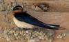 Barn Swallow.