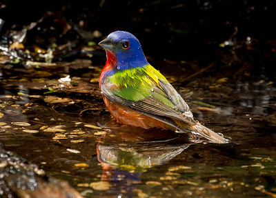 Painted Bunting in sunlight.