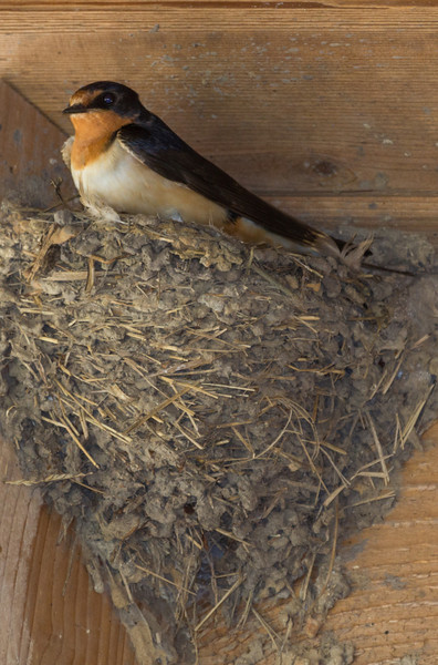 Barn Swallow under the roof of the old Visitor's Center at Anahuac NWR. There are maybe 15 to 20 nests there.