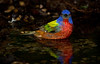 The last Painted Bunting I photographed this year, taken about 6:35 PM on day 7.