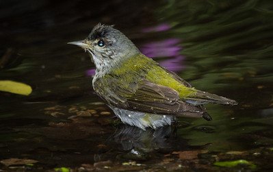 Tennessee Warbler getting wet at the drip. Purple color came from a small cluster of wild flowers placed on the background log.