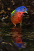 Painted Bunting trying to figure out the risk of those repeated flashes.