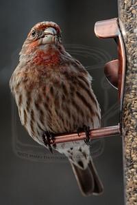 House finch