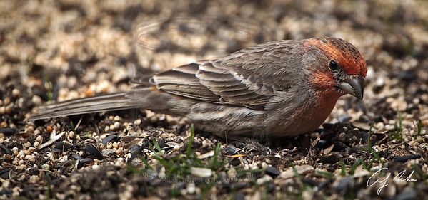 House finch, not looking too chipper.
