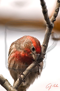 House finch, about to drop down for food below.
