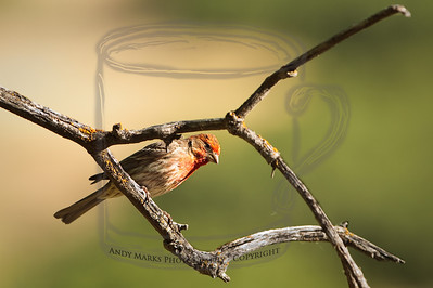 A house finch, peering down at me from about 20 yds away. 9July10  (Took the midday glare off the branches and bird w LR's local adjustment tool.)