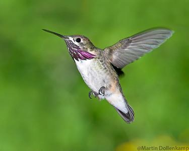 Calliope Hummingbird Stellula calliope