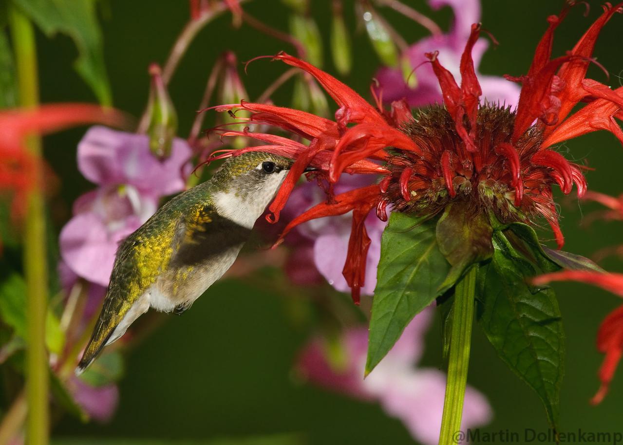 Ruby-throated Hummingbird, juvenile male feeding on Bee Balm