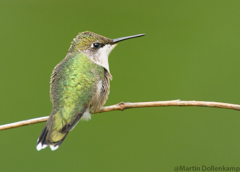 Ruby-throated Hummingbird, juvenile male. This is a rare bird sighting right in my backyard!
