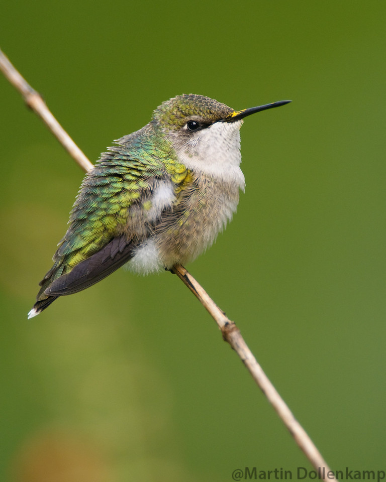 Ruby-throated Hummingbird, juvenile male. He showed no interest in the feeders and fed on the flowers in the garden, having a range of blooming flowers through out the season that are Hummingbird attractors makes a big difference in what you attract.