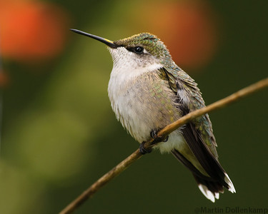 Ruby-throated Hummingbird, juvenile male