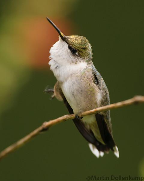 Ruby-throated Hummingbird, juvenile male