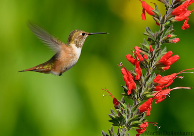 Rufous Hummingbird juvenile and Salvia exserta