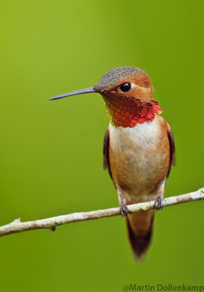 Rufous Hummingbird, this male has control of the yard this year.