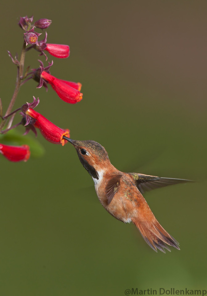 "Rufus Hummingbird nectaring on the ""Chilean Glory Vines""."