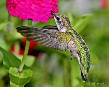 Hummingbirds Fall 2014
