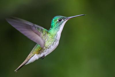 Andean Emerald - Ecuador