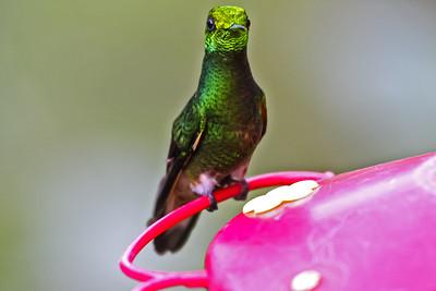 Buff-tailed Coronet - Ecuador