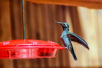 Blue-throated Hummingbird - Mexico