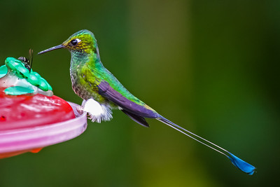 Booted Racket-tail (Male) - Ecuador