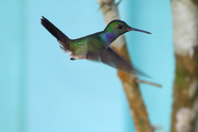 Blue-chested Hummingbird - Panama