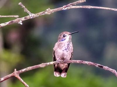 Brown Violet-ear - Costa Rica