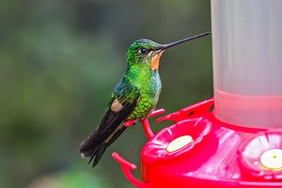 Buff-winged Starfrontlet (Female) - Ecuador
