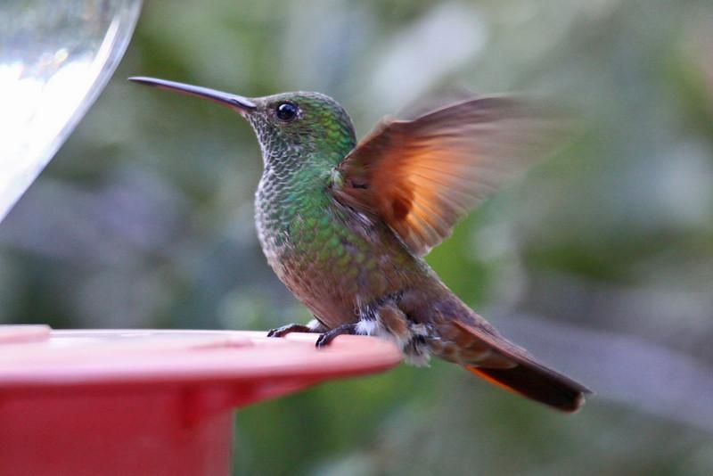 Berylline Hummingbird (F) - Arizona