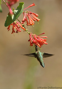 Dropmore Scarlet Honeysuckle and a young Rufous Hummingbird