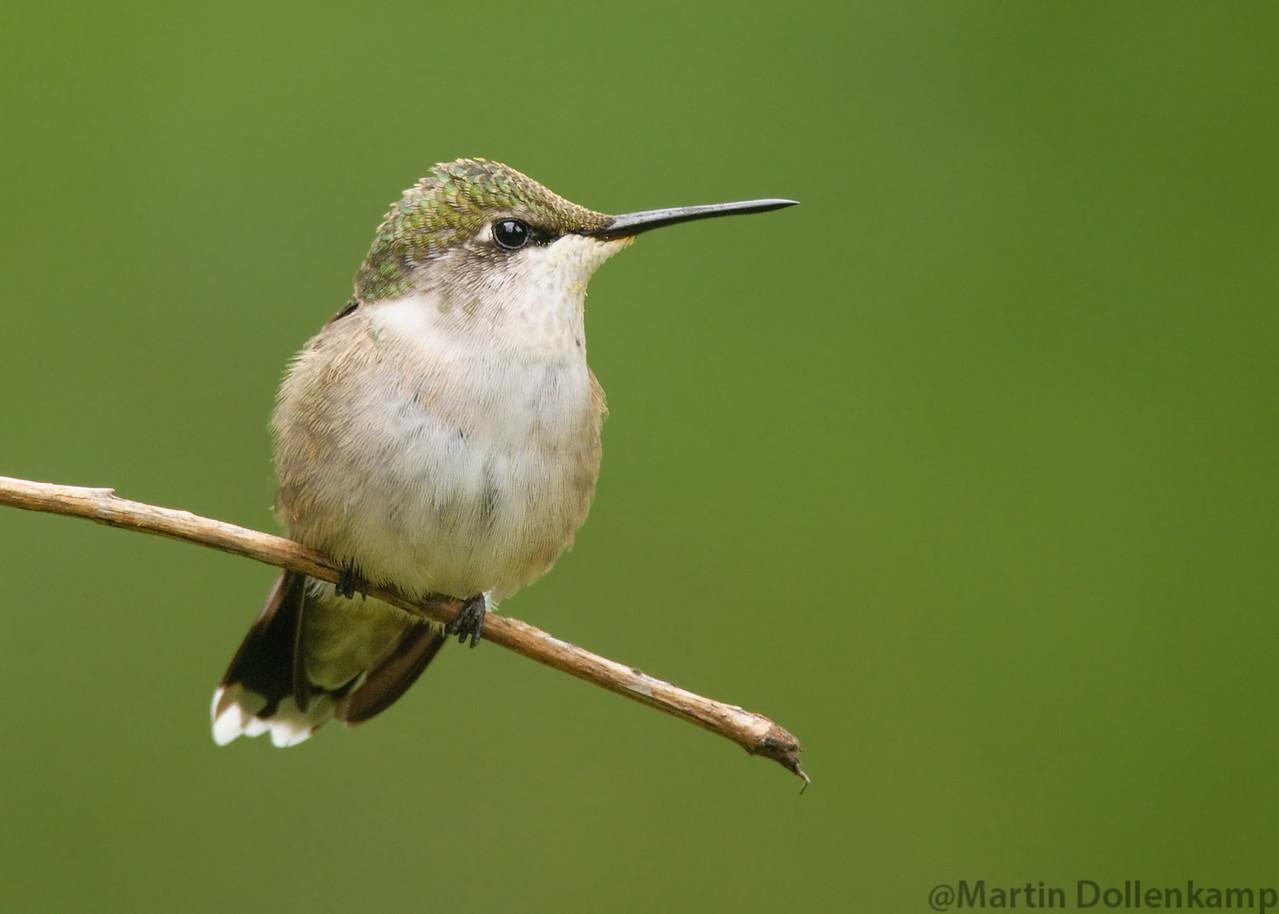 Ruby-throated Hummingbird, juvenile male.