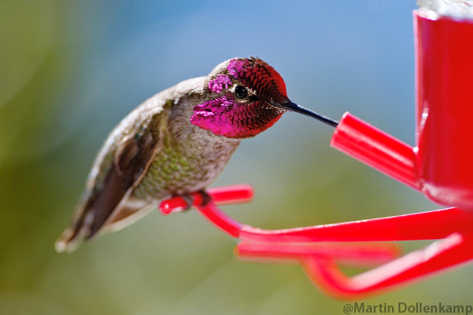 Hummingbird photography Anna's at feeder