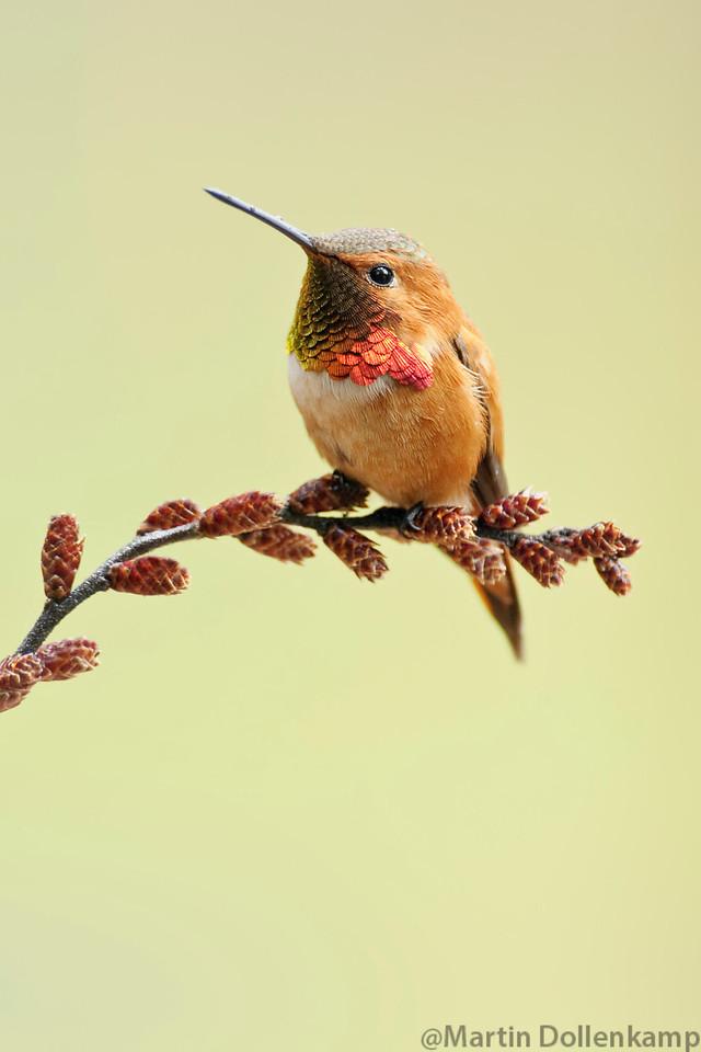 Rufous Humminbird perched on Myrica Gale