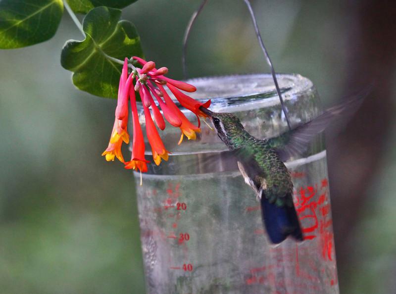 Broad-billed Hummingbird (F) - Arizona