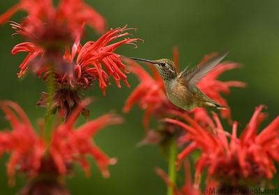 Rufous Hummingbird and Bee Balm