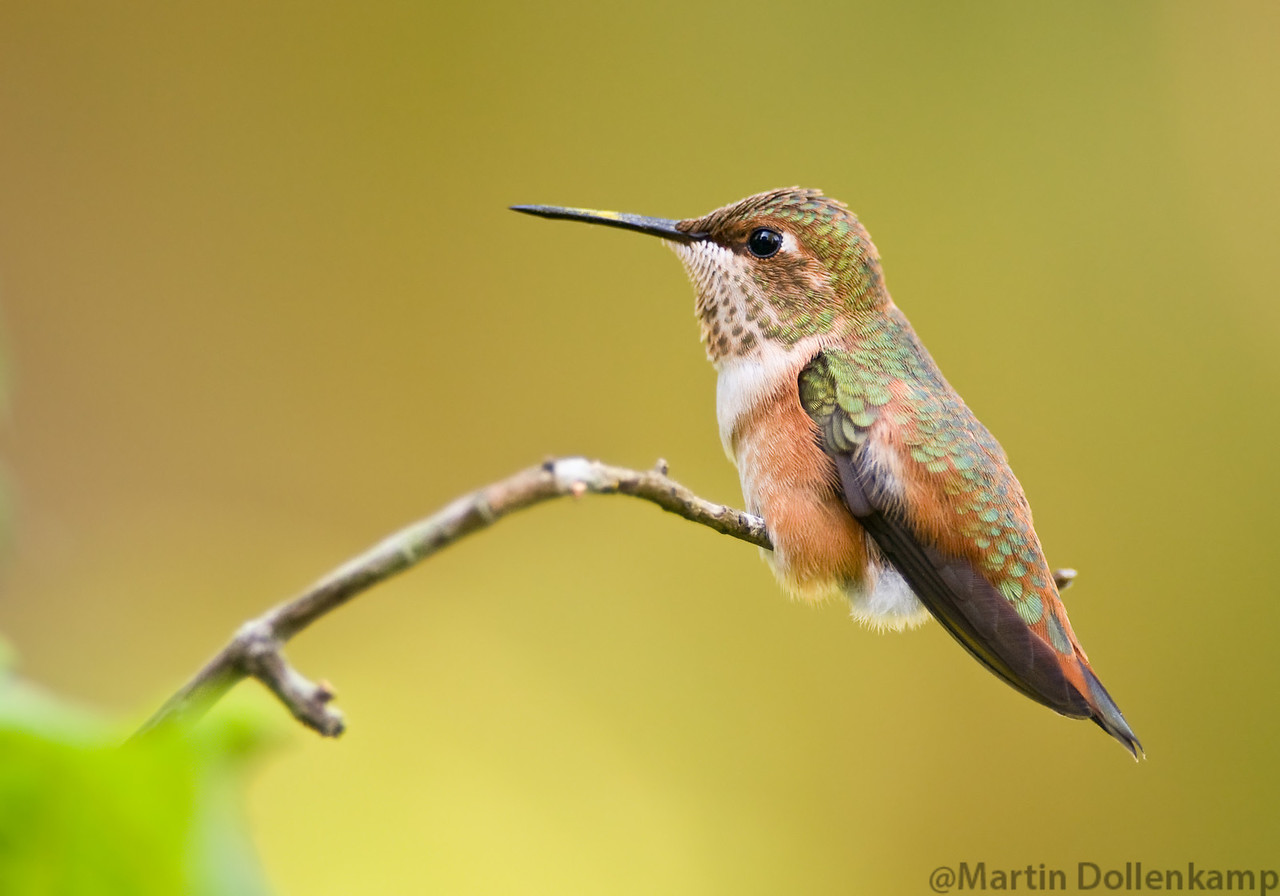 Rufous Hummingbird juvenile, this was the dominant male juvenile this summer.